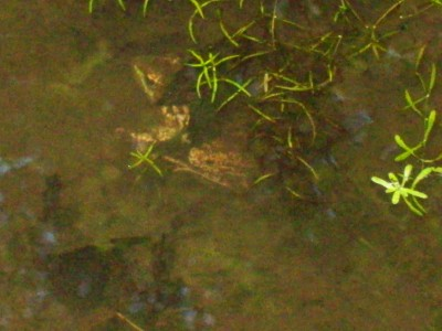 This Week's Most Memorable Green Hour – What's That Sound? – Finding The Bullfrog