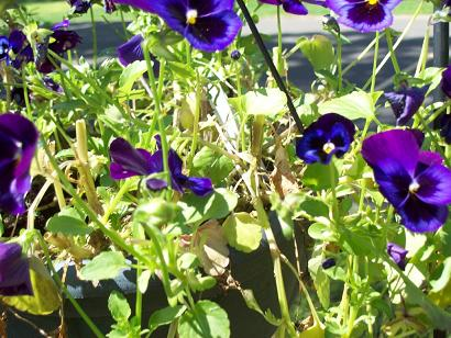 how to keep pansies from getting leggy